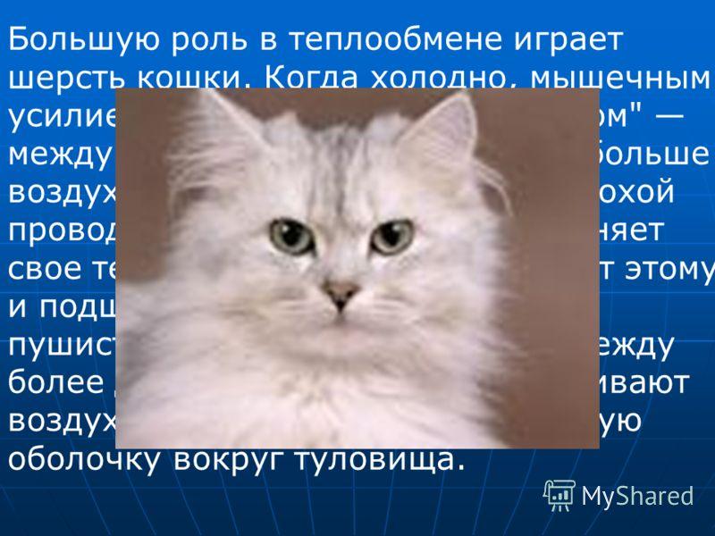 Большую роль в теплообмене играет шерсть кошки. Когда холодно, мышечным усилием шерсть