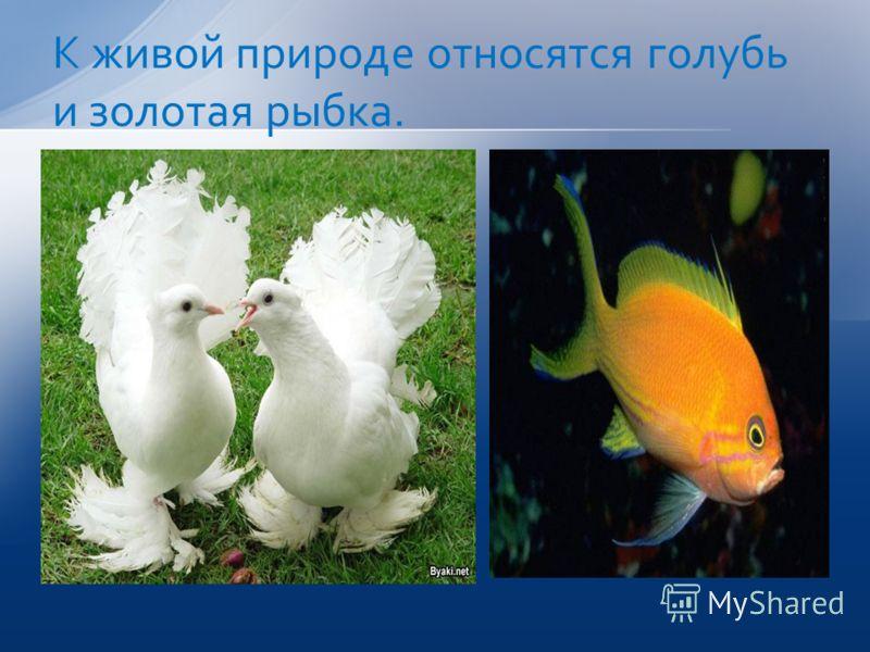 К живой природе относятся голубь и золотая рыбка.