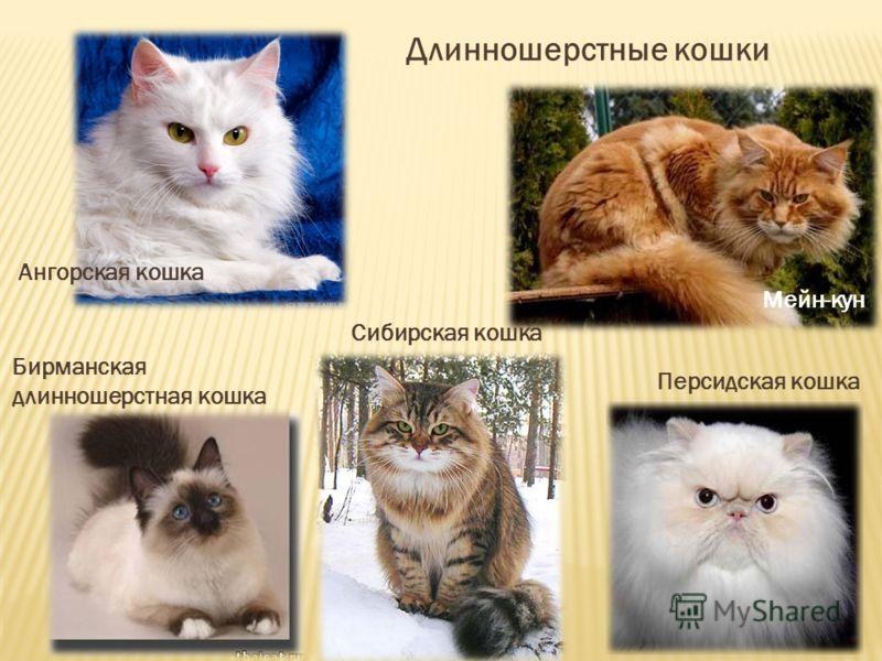 Длинношерстные кошки Мейн-кун Ангорская кошка Персидская кошка Сибирская кошка Бирманская длинношерстная кошка