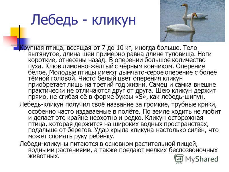 Лебедь - кликун Крупная птица, весящая от 7 до 10 кг, иногда больше. Тело вытянутое, длина шеи примерно равна длине туловища. Ноги короткие, отнесены назад. В оперении большое количество пуха. Клюв лимонно-жёлтый с чёрным кончиком. Оперение белое. Мо
