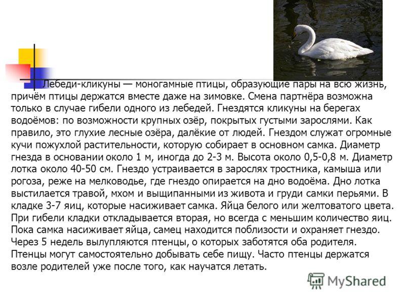Лебеди-кликуны моногамные птицы, образующие пары на всю жизнь, причём птицы держатся вместе даже на зимовке. Смена партнёра возможна только в случае гибели одного из лебедей. Гнездятся кликуны на берегах водоёмов: по возможности крупных озёр, покрыты