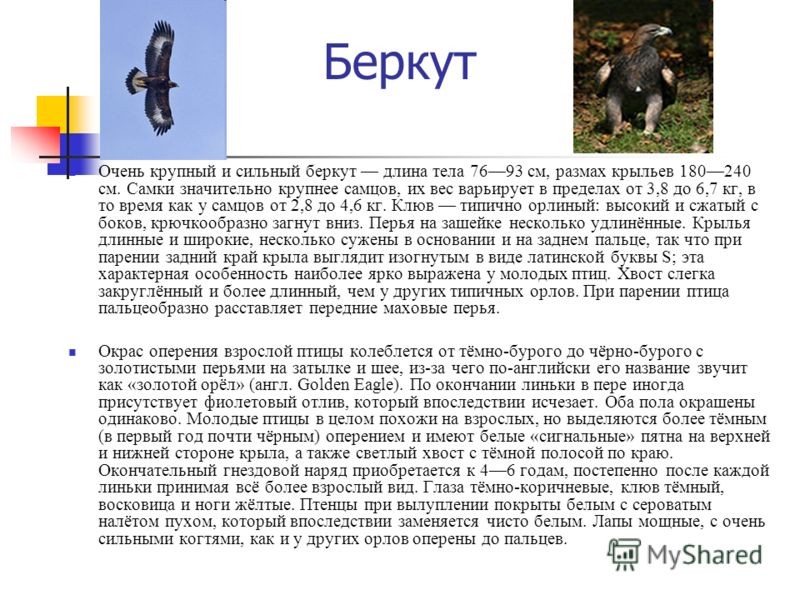 Беркут Очень крупный и сильный беркут длина тела 7693 см, размах крыльев 180240 см. Самки значительно крупнее самцов, их вес варьирует в пределах от 3,8 до 6,7 кг, в то время как у самцов от 2,8 до 4,6 кг. Клюв типично орлиный: высокий и сжатый с бок