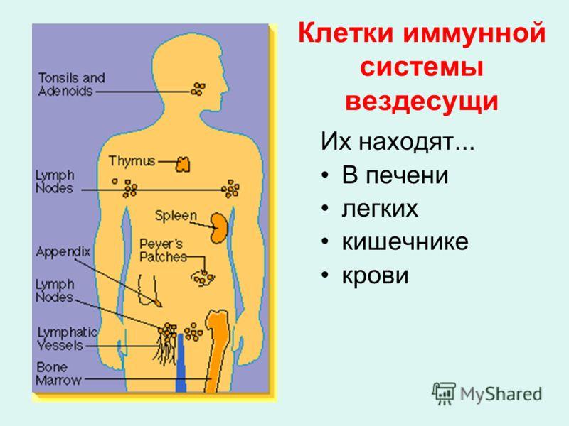 Клетки иммунной системы вездесущи Их находят... В печени легких кишечнике крови