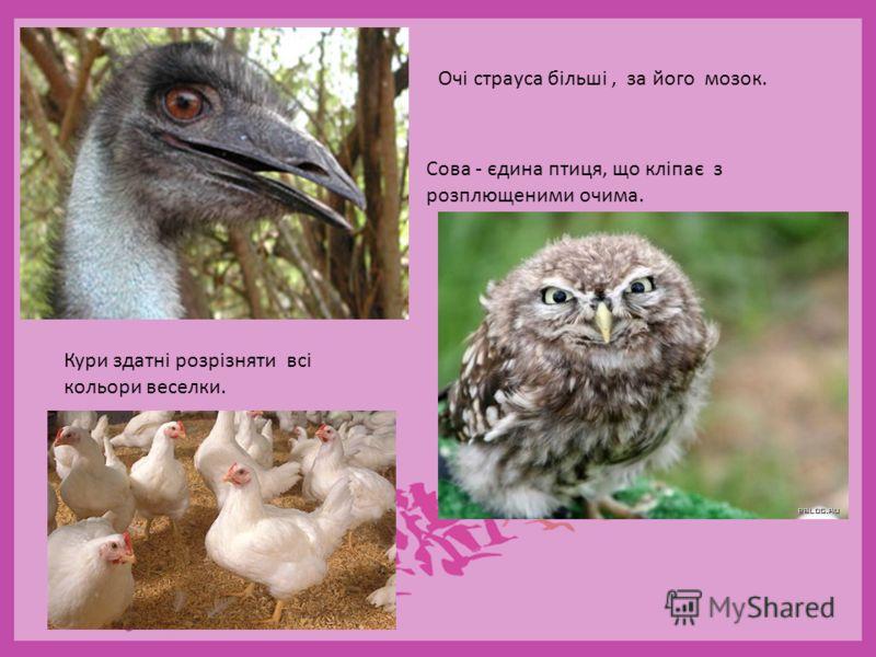 Очі страуса більші, за його мозок. Кури здатні розрізняти всі кольори веселки. Сова - єдина птиця, що кліпає з розплющеними очима.