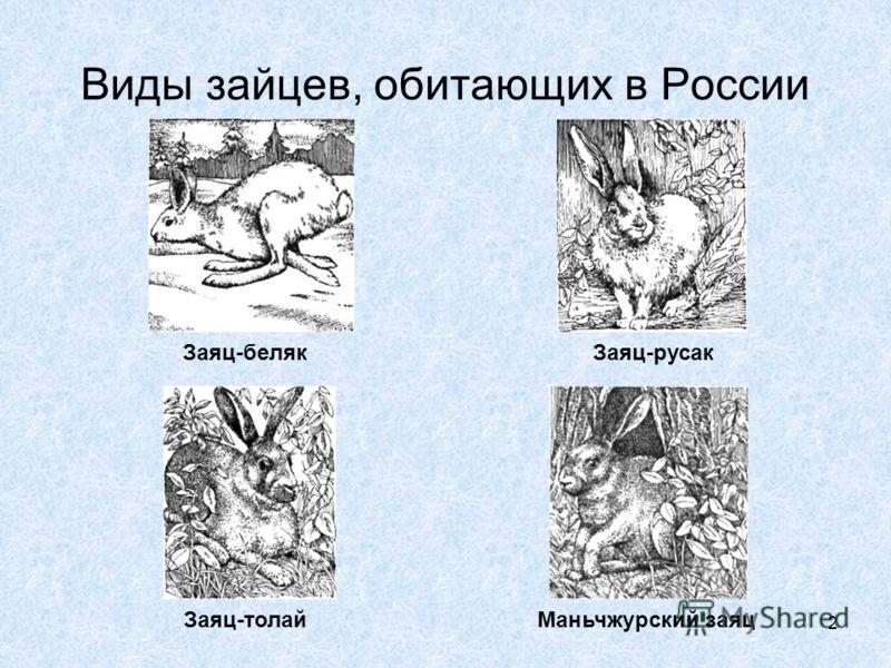 2 Виды зайцев, обитающих в России Заяц-белякЗаяц-русак Заяц-толайМаньчжурский заяц