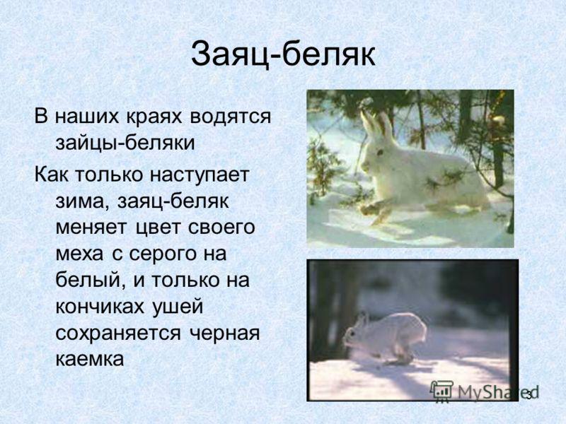 3 Заяц-беляк В наших краях водятся зайцы-беляки Как только наступает зима, заяц-беляк меняет цвет своего меха с серого на белый, и только на кончиках ушей сохраняется черная каемка