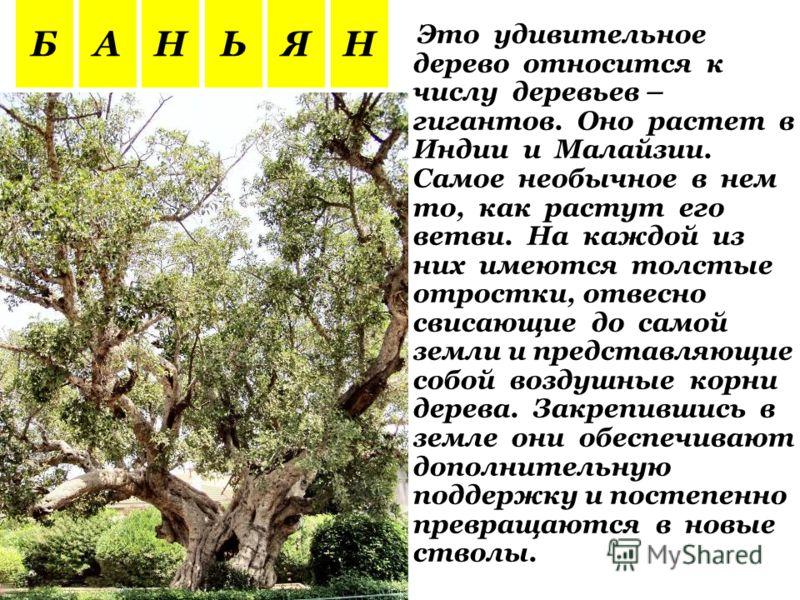 Это удивительное дерево относится к числу деревьев – гигантов. Оно растет в Индии и Малайзии. Самое необычное в нем то, как растут его ветви. На каждой из них имеются толстые отростки, отвесно свисающие до самой земли и представляющие собой воздушные