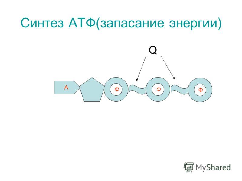 Синтез АТФ(запасание энергии) Q А Ф Ф Ф