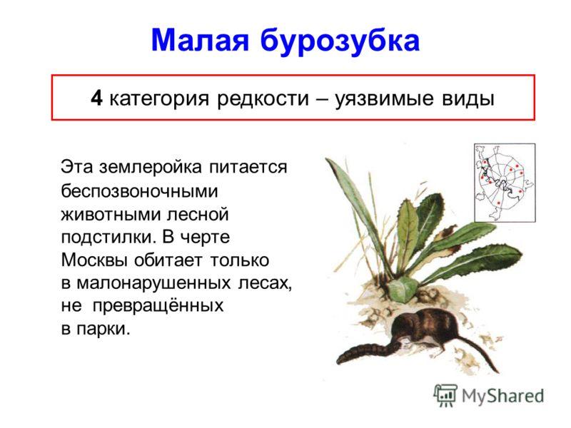 Малая бурозубка Эта землеройка питается беспозвоночными животными лесной подстилки. В черте Москвы обитает только в малонарушенных лесах, не превращённых в парки. 4 категория редкости – уязвимые виды