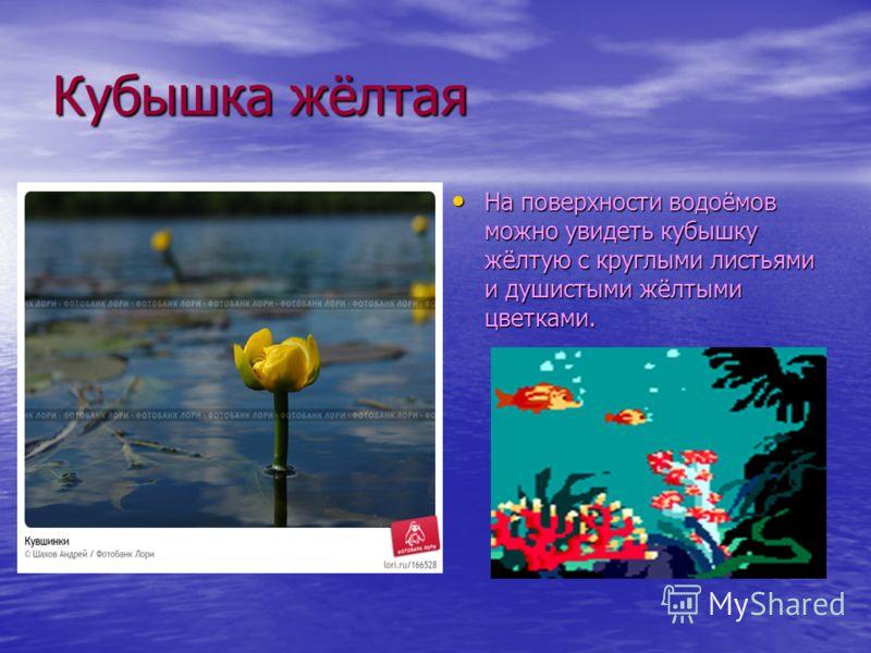 Растения водоёмов Белую кувшинку иногда называют белой лилией. Корни этих растений разрастаются в илистом дне, а листья находятся на поверхности воды. Белую кувшинку иногда называют белой лилией. Корни этих растений разрастаются в илистом дне, а лист