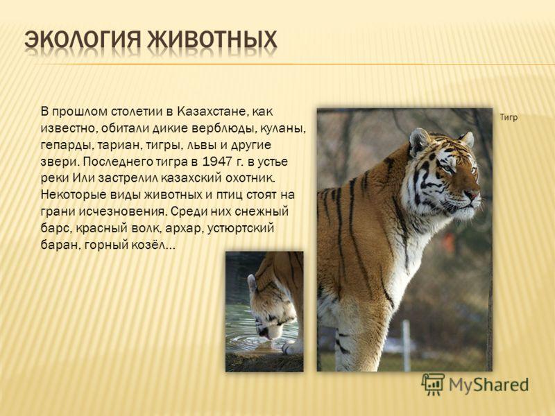 В прошлом столетии в Казахстане, как известно, обитали дикие верблюды, куланы, гепарды, тариан, тигры, львы и другие звери. Последнего тигра в 1947 г. в устье реки Или застрелил казахский охотник. Некоторые виды животных и птиц стоят на грани исчезно