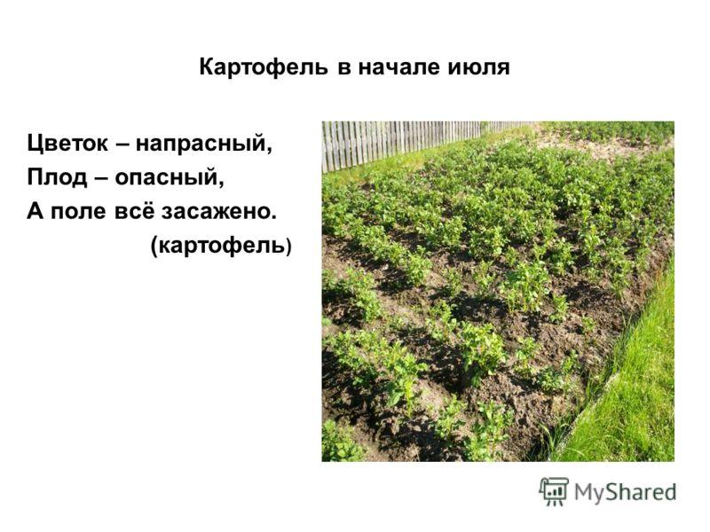 Картофель в начале июля Цветок – напрасный, Плод – опасный, А поле всё засажено. (картофель )