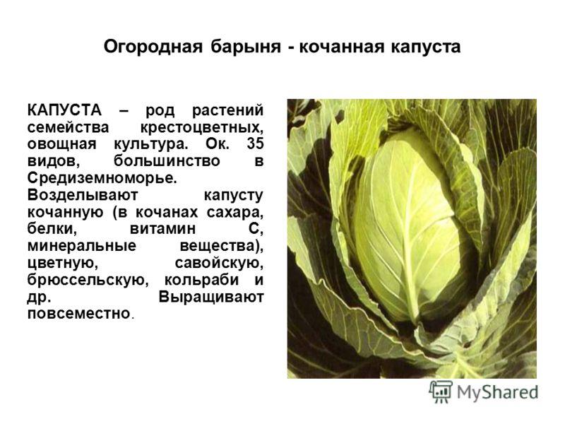 Огородная барыня - кочанная капуста КАПУСТА – род растений семейства крестоцветных, овощная культура. Ок. 35 видов, большинство в Средиземноморье. Возделывают капусту кочанную (в кочанах сахара, белки, витамин С, минеральные вещества), цветную, савой