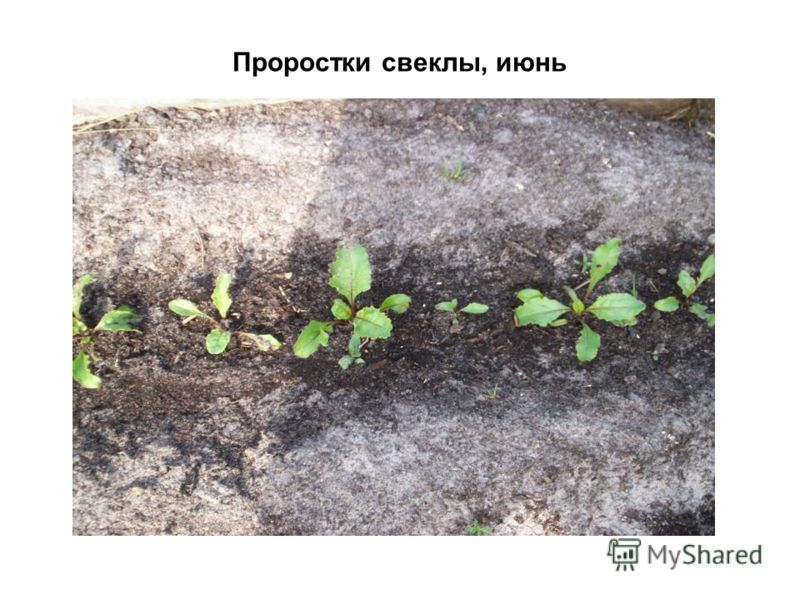 Проростки свеклы, июнь