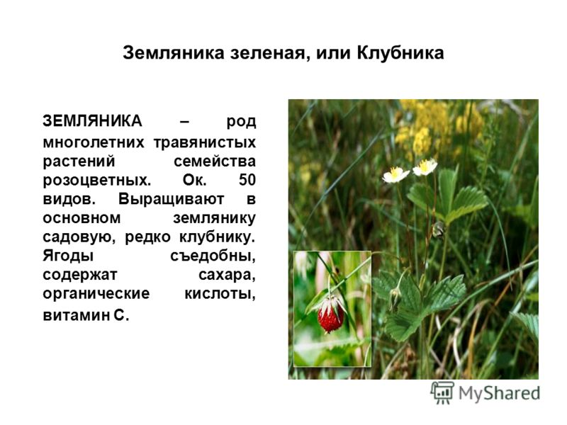Земляника зеленая, или Клубника ЗЕМЛЯНИКА – род многолетних травянистых растений семейства розоцветных. Ок. 50 видов. Выращивают в основном землянику садовую, редко клубнику. Ягоды съедобны, содержат сахара, органические кислоты, витамин С.