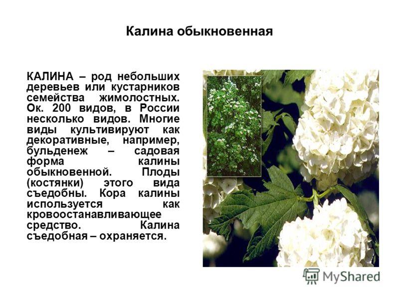 Калина обыкновенная КАЛИНА – род небольших деревьев или кустарников семейства жимолостных. Ок. 200 видов, в России несколько видов. Многие виды культивируют как декоративные, например, бульденеж – садовая форма калины обыкновенной. Плоды (костянки) э