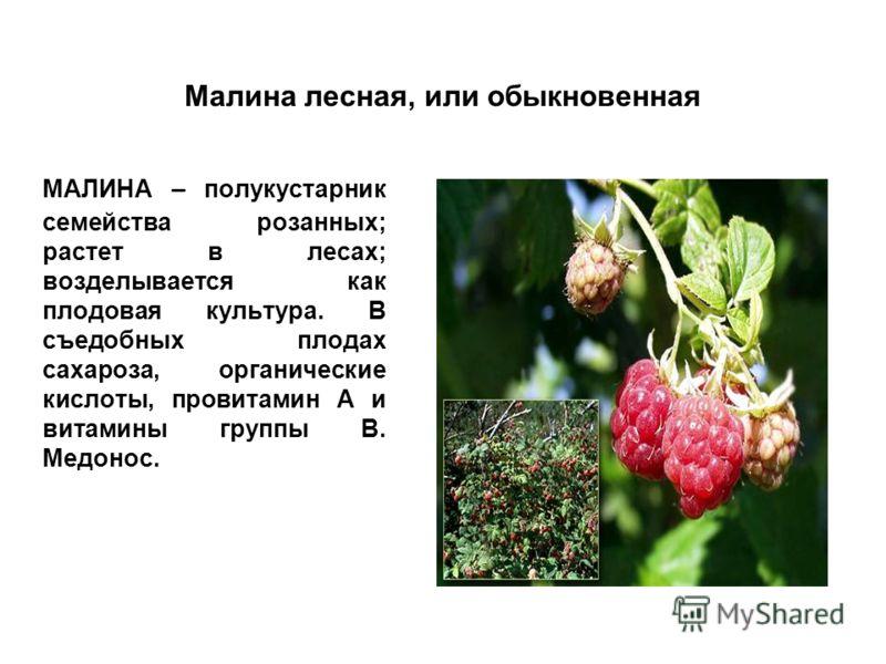 Малина лесная, или обыкновенная МАЛИНА – полукустарник семейства розанных; растет в лесах; возделывается как плодовая культура. В съедобных плодах сахароза, органические кислоты, провитамин А и витамины группы В. Медонос.