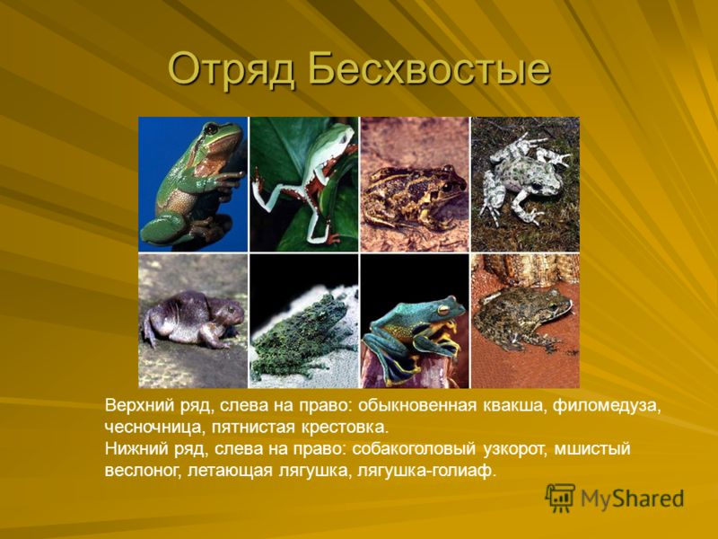 Отряд Бесхвостые Верхний ряд, слева на право: обыкновенная квакша, филомедуза, чесночница, пятнистая крестовка. Нижний ряд, слева на право: собакоголовый узкорот, мшистый веслоног, летающая лягушка, лягушка-голиаф.