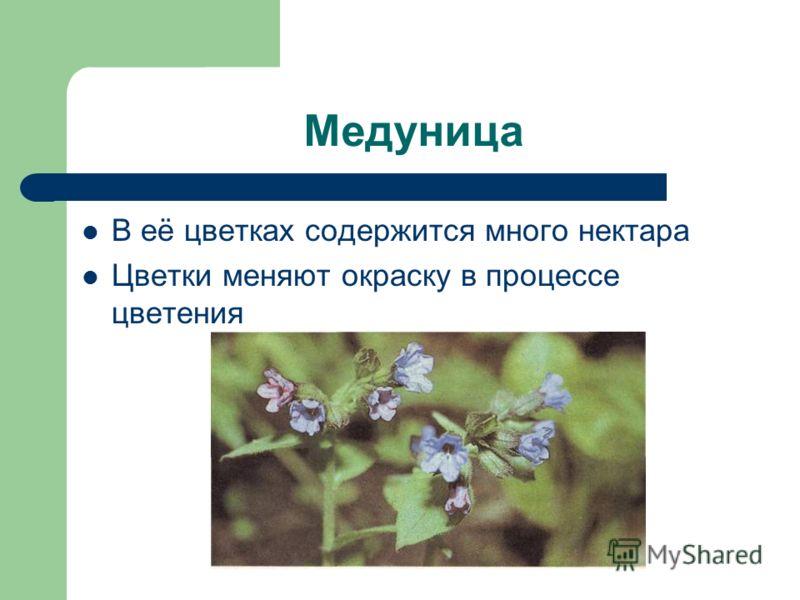 Медуница В её цветках содержится много нектара Цветки меняют окраску в процессе цветения
