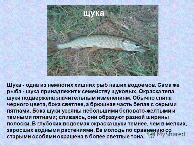 Щука - одна из немногих хищних рыб наших водоемов. Сама же рыба - щука принадлежит к семейству щуковых. Окраска тела щуки подвержена значительным изменениям. Обычно спина черного цвета, бока светлее, а брюшная часть белая с серыми пятнами. Бока щуки