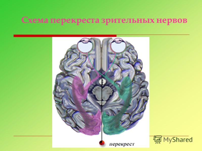 Схема перекреста зрительных нервов