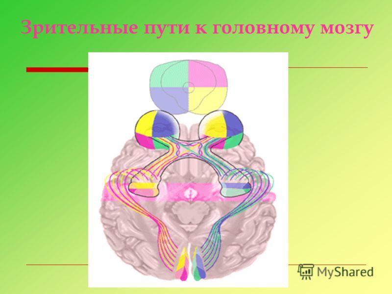 Зрительные пути к головному мозгу