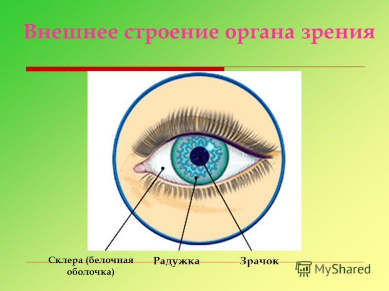 Склера (белочная оболочка) РадужкаЗрачок Внешнее строение органа зрения