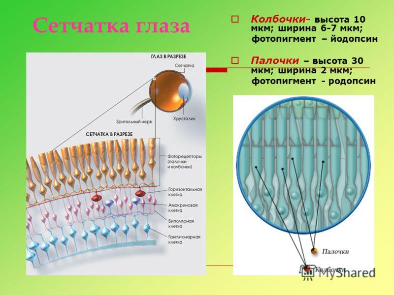 Колбочки- высота 10 мкм; ширина 6-7 мкм; фотопигмент – йодопсин Палочки – высота 30 мкм; ширина 2 мкм; фотопигмент - родопсин Сетчатка глаза