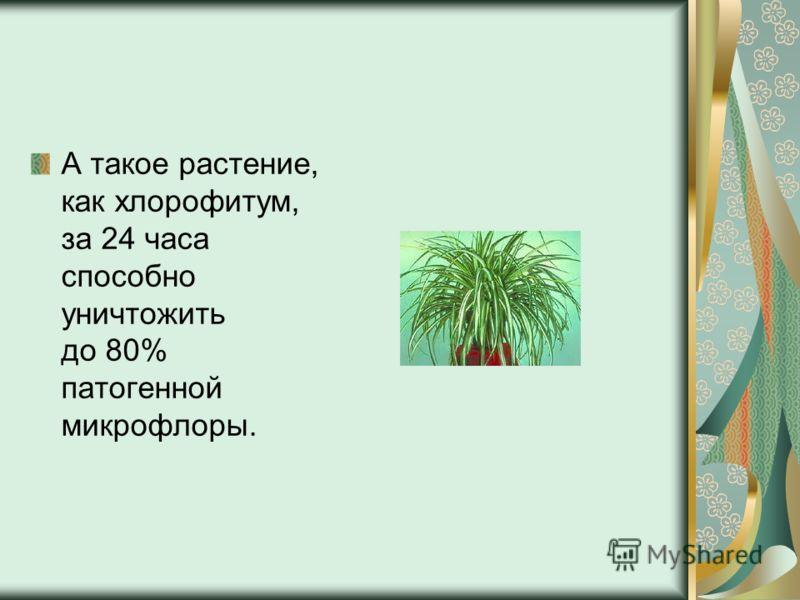 А такое растение, как хлорофитум, за 24 часа способно уничтожить до 80% патогенной микрофлоры.