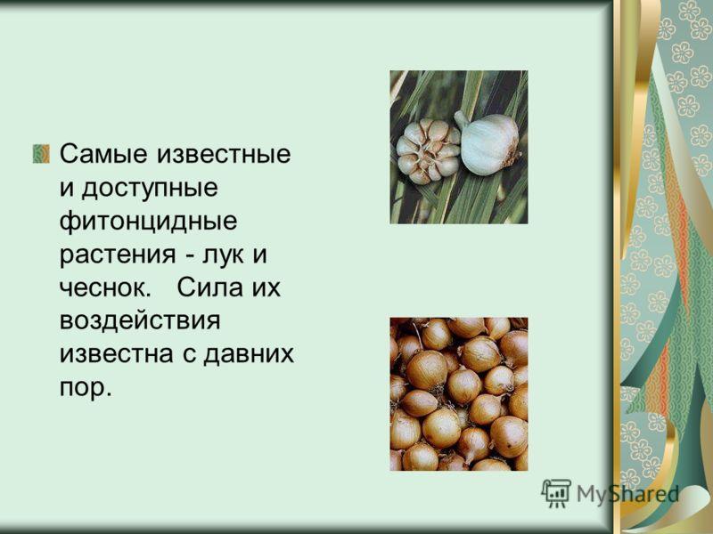 Самые известные и доступные фитонцидные растения - лук и чеснок. Сила их воздействия известна с давних пор.