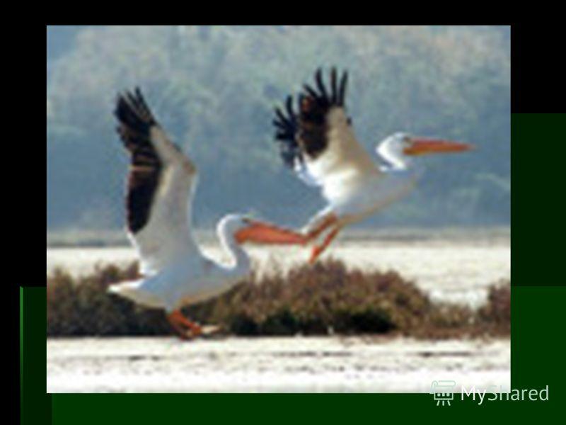 Особенности биологии Перелетная птица. Гнездится как в смешанных колониях с розовым пеликаном и большим бакланом, так и самостоятельными колониями и отдельными парами. Гнезда устраивает на заломах и сплавинах тростника, реже - на открытом грунте на о