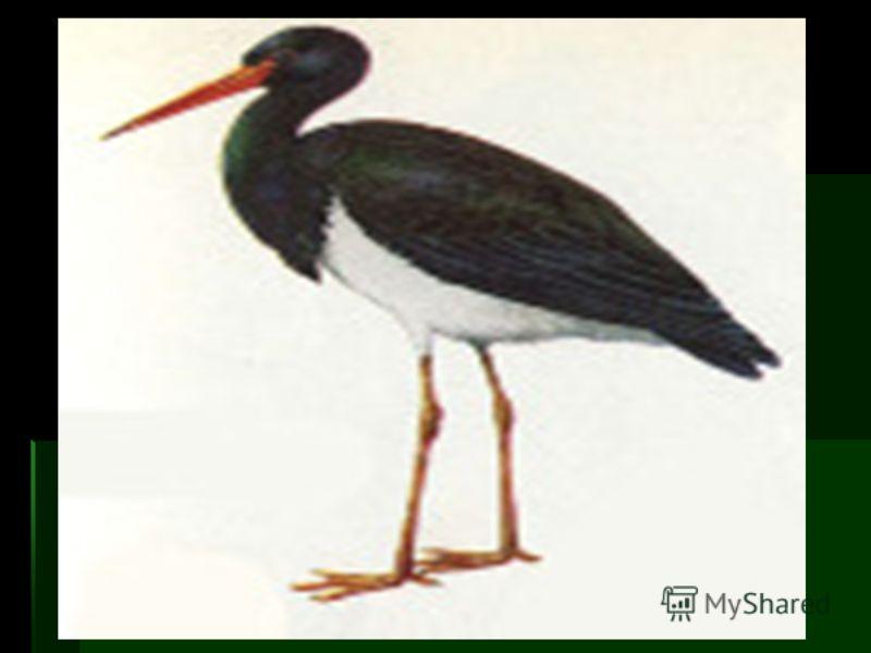 Перелетная птица, зимовки в Индии [3]. Прилетает в марте - апреле. Гнезда из веток, скрепленных глиной и травой, устраивает на скалах и на деревьях. Кладку из 2 - 6 яиц насиживает 32 - 38 дней, птенцы проводят в гнезде около 60 дней [3]. В 11-ти из и