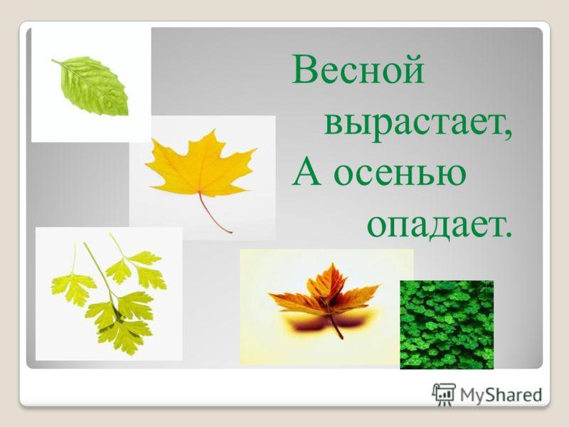 Весной вырастает, А осенью опадает.