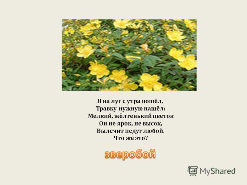 Я на луг с утра пошёл, Травку нужную нашёл : Мелкий, жёлтенький цветок Он не ярок, не высок, Вылечит недуг любой. Что же это ?