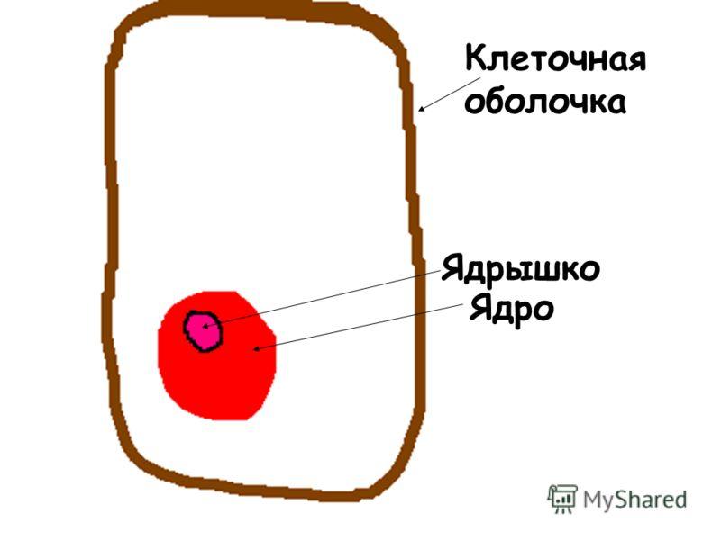 Клеточная оболочка Ядро Ядрышко