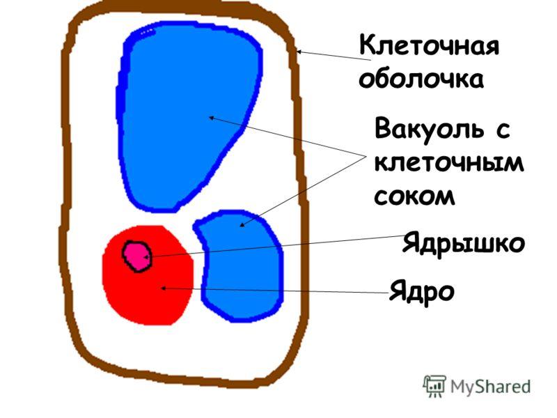Ядро Ядрышко Вакуоль с клеточным соком