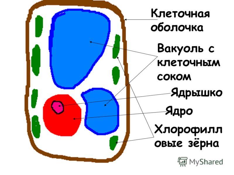 Клеточная оболочка Вакуоль с клеточным соком Ядрышко Ядро Хлорофилл овые зёрна