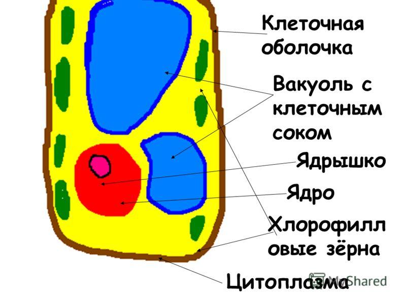 Клеточная оболочка Вакуоль с клеточным соком Ядрышко Ядро Хлорофилл овые зёрна Цитоплазма
