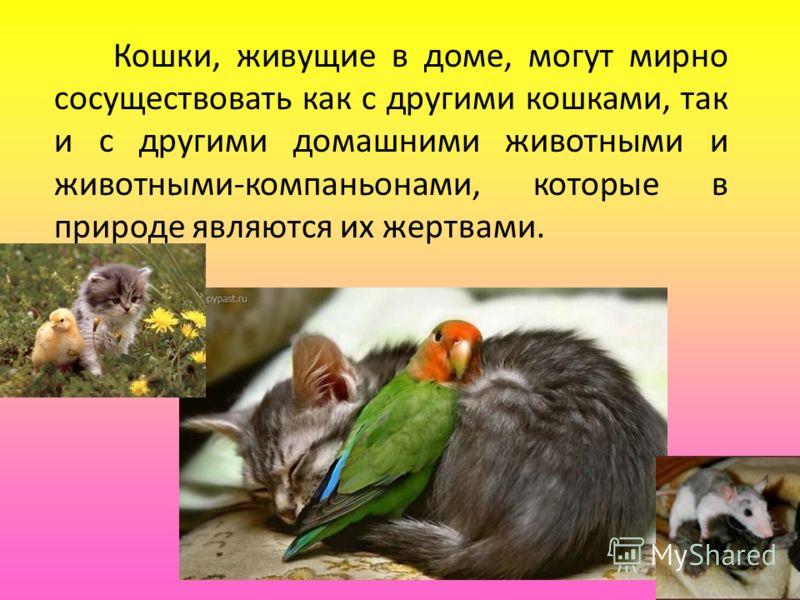 Кошки, живущие в доме, могут мирно сосуществовать как с другими кошками, так и с другими домашними животными и животными-компаньонами, которые в природе являются их жертвами.