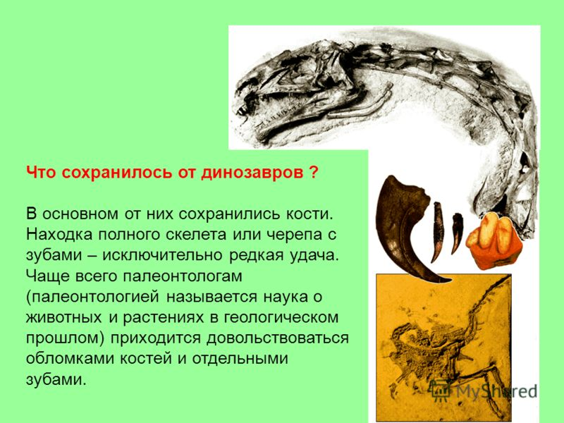 Что сохранилось от динозавров ? В основном от них сохранились кости. Находка полного скелета или черепа с зубами – исключительно редкая удача. Чаще всего палеонтологам (палеонтологией называется наука о животных и растениях в геологическом прошлом) п