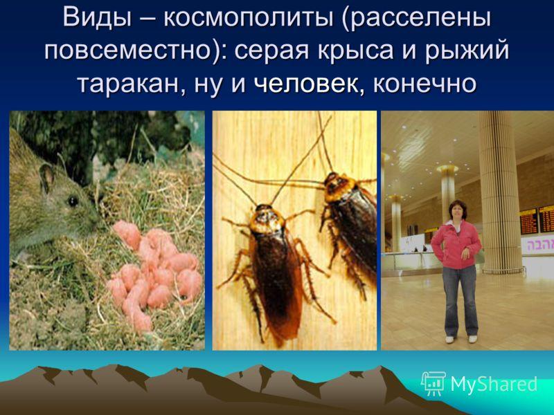 Виды – космополиты (расселены повсеместно): серая крыса и рыжий таракан, ну и человек, конечно