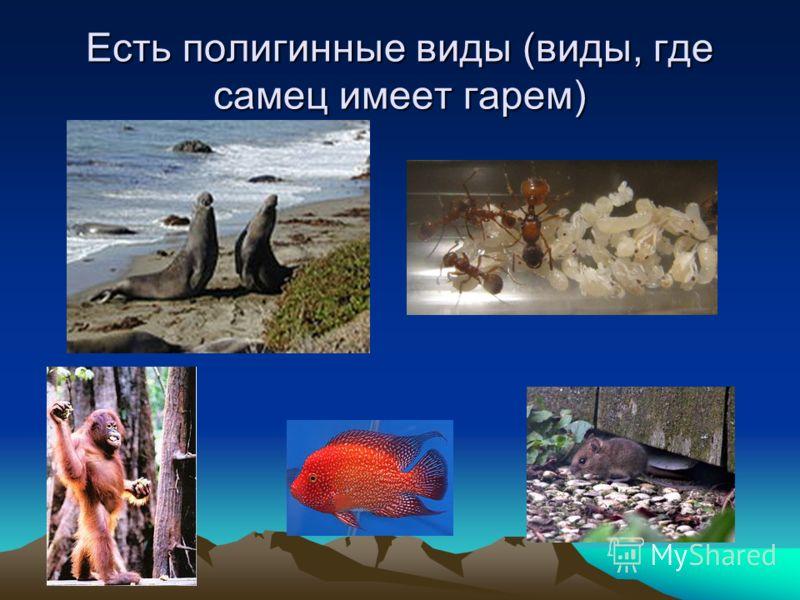 Есть полигинные виды (виды, где самец имеет гарем)