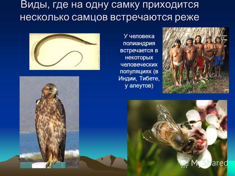 Виды, где на одну самку приходится несколько самцов встречаются реже У человека полиандрия встречается в некоторых человеческих популяциях (в Индии, Тибете, у алеутов)