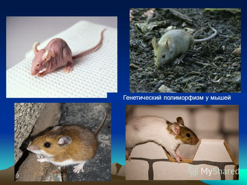 Генетический полиморфизм у мышей