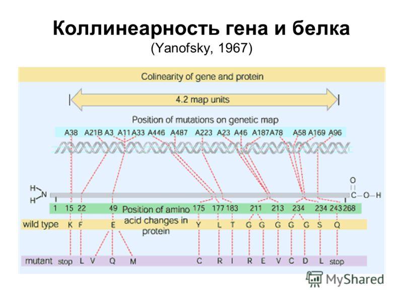 Коллинеарность гена и белка (Yanofsky, 1967)