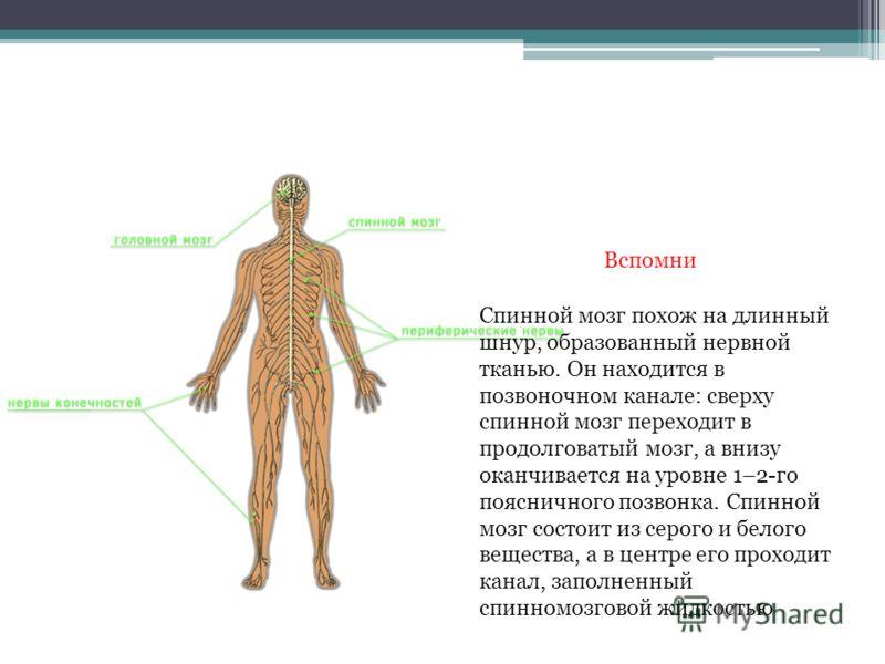 Спинной мозг похож на длинный шнур, образованный нервной тканью. Он находится в позвоночном канале: сверху спинной мозг переходит в продолговатый мозг, а внизу оканчивается на уровне 1–2-го поясничного позвонка. Спинной мозг состоит из серого и белог