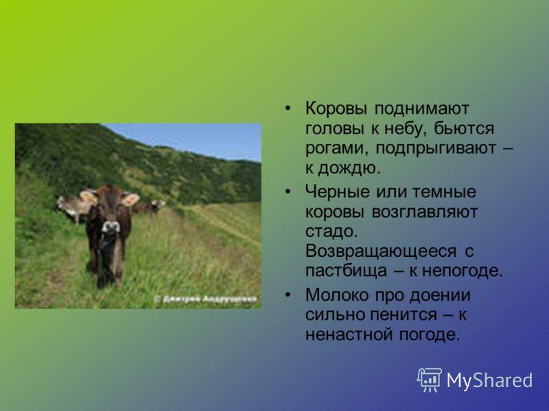 Коровы поднимают головы к небу, бьются рогами, подпрыгивают – к дождю. Черные или темные коровы возглавляют стадо. Возвращающееся с пастбища – к непогоде. Молоко про доении сильно пенится – к ненастной погоде.