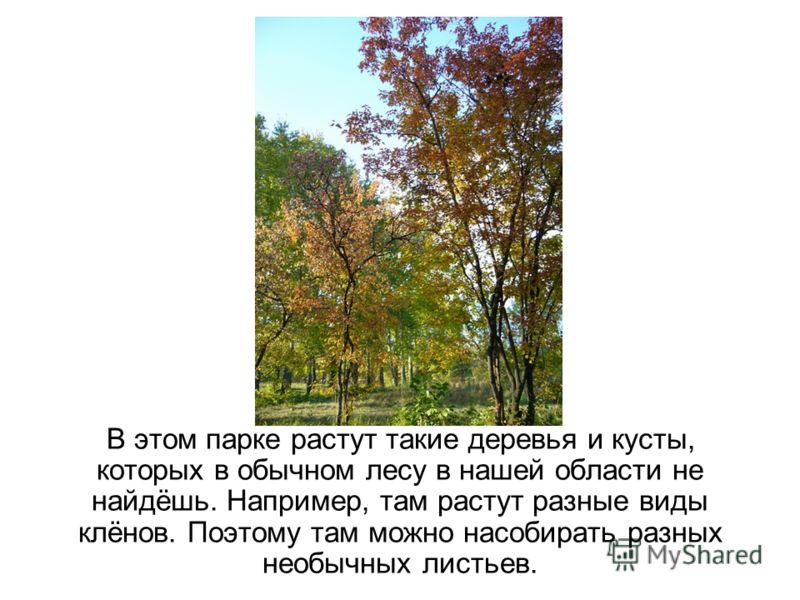 В этом парке растут такие деревья и кусты, которых в обычном лесу в нашей области не найдёшь. Например, там растут разные виды клёнов. Поэтому там можно насобирать разных необычных листьев.