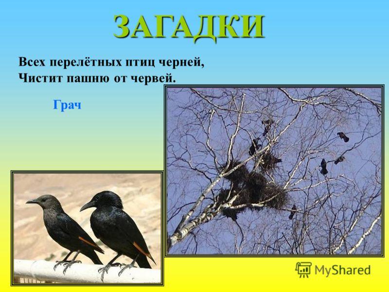 ЗАГАДКИ Всех перелётных птиц черней, Чистит пашню от червей. Грач