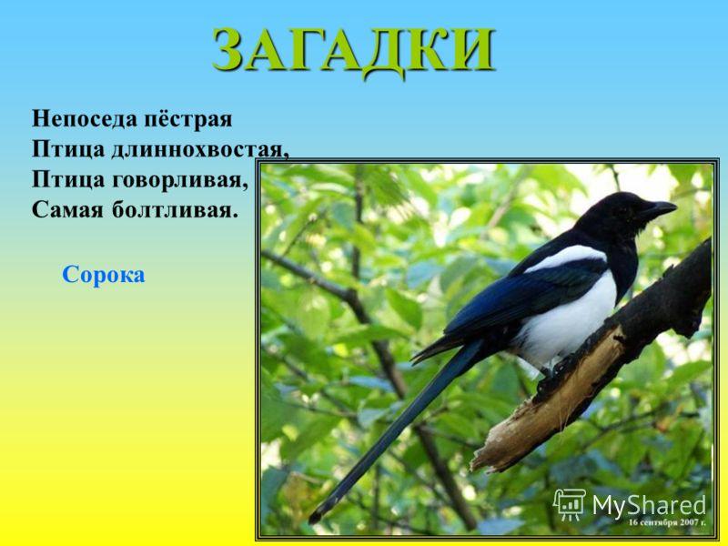 ЗАГАДКИ Непоседа пёстрая Птица длиннохвостая, Птица говорливая, Самая болтливая. Сорока